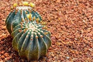 Ferocactus glaucescens var. nudum flowering on pebble ground photo