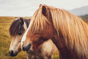 Icelandic horse in the field of scenic nature landscape of Iceland photo
