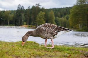 Greylag goose with orange beak in park with lake background photo