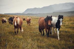 Caballos islandeses en los campos de la montaña en otoño de Islandia foto