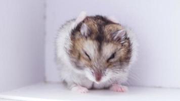 petit hamster nain dans une petite boîte blanche nettoie sa fourrure. video