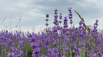 Lavender Flowers Blowing in The Breeze video