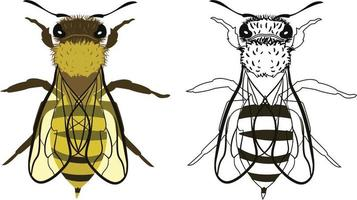 Bee or Apis mellifera Vector Illustration
