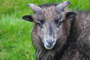 Portrait of Faroese Sheep photo