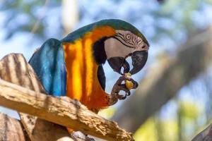 guacamayo comiendo en la rama de un árbol al aire libre en río de janeiro. foto