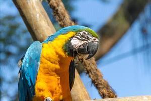 Guacamayo apoyado en la rama de un árbol al aire libre en Río de Janeiro. foto