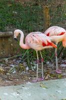 outdoor flamingos in a lake in Rio de Janeiro. photo