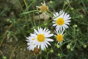 manzanilla de bosque medicinal. primer plano de flores. Planta salvaje. foto