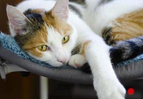 un gato tricolor doméstico yace en una silla. mirando al dueño. foto