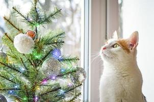 A tricolor domestic cat looks Christmas tree. photo