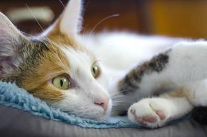 un gato tricolor doméstico yace en una silla. foto