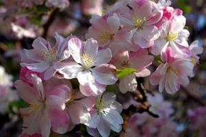 Full bloom sakura in China photo