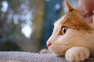 Domestic tricolor cat lies near the window. photo