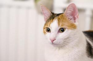 gato tricolor mira a lo lejos. mascota. foto