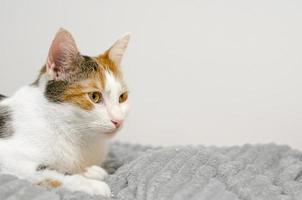 gato tricolor se duerme en la cama, cuadros grises. foto