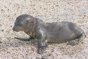 Baby Galapagos Sea Lion on the Beach photo
