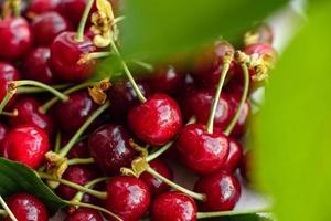 Frescas y deliciosas bayas de cerezo rojo brillante rasgadas en el jardín de verano foto