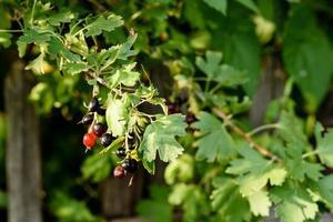 Hermosas frutas maduras de grosella negra en una rama de arbusto foto