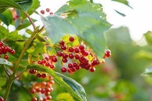 Red viburnum berries on branch in the garden photo