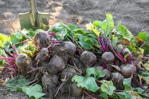 remolachas frescas cosechadas en el suelo en el jardín en el lecho de siembra foto