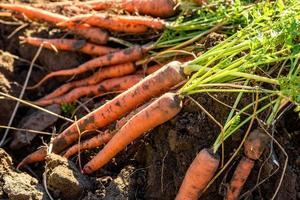 zanahorias frescas cosechadas en el suelo en el jardín foto