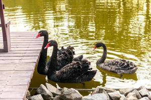 Beautiful black swans swim along the banks of a small river photo