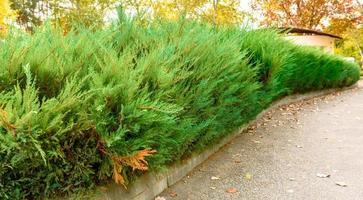 varios arbustos de tui con hermosas ramas verdes foto