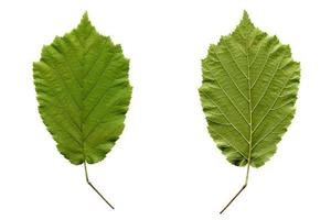 Apricot leaf isolated photo