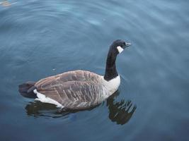 pájaro de ganso en un estanque foto
