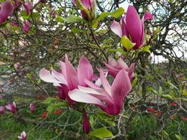 flor de magnolia foto
