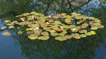 nenúfar en un estanque foto