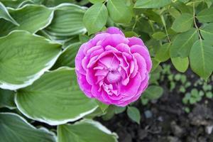 Arbusto floreciente de rosa rosa en el jardín en verano foto
