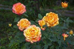 rosal floreciente en el jardín en verano foto