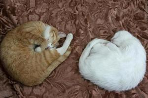 Cats sleep curled up in a ball. Two domestic cats sleep on the bed. photo