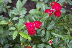 Flowering shrubs in the garden photo
