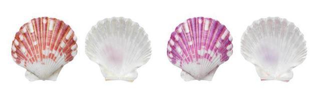 Mollusk sea shells on white background photo