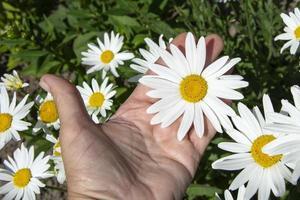 una mujer sostiene una gran flor de manzanilla blanca foto