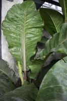 The white young leaves of Philodendron tropical vine plant photo