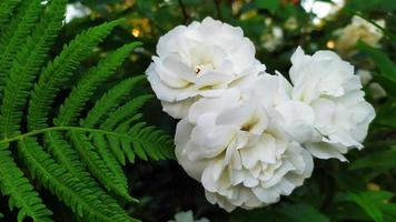 arbusto de rosas blancas foto
