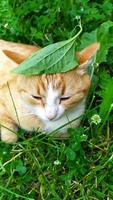 A ginger cat hides from the heat under a plantain leaf photo