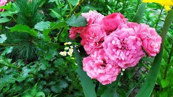 Rose shrub during flowering in the garden photo