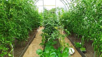 Tomato bushes in the greenhouse photo