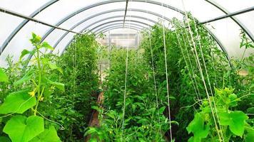 Los arbustos de tomate en el invernadero están atados con cuerdas. foto