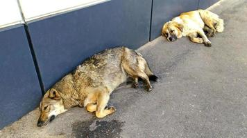 Homeless large dogs lie near the building photo
