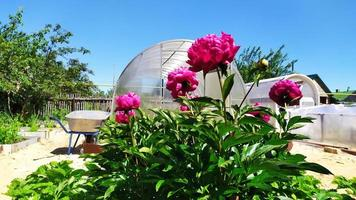 un arbusto de peonías en el jardín con el telón de fondo de los invernaderos foto