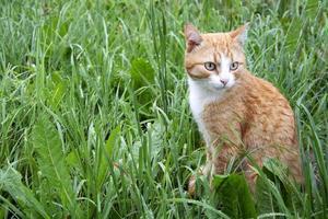 el gato está sentado en la hierba después de la lluvia. un jengibre doméstico foto