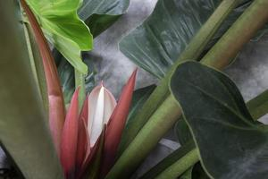 The red young leaves of Philodendron tropical vine plant photo
