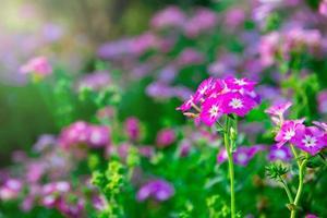 Close up pink geranium flowers in garden photo