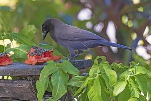 Cowbird gigante alimentándose de un mango foto