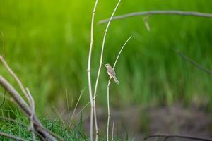Common Tailorbird perching on branch. photo